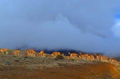 Alpacas i den Chimborazo vulkan, Ecuador Royaltyfria Foton