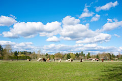 Alpacas i en lantgård Royaltyfri Fotografi