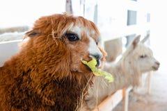 Alpacas i lantgården som äter sidor Arkivfoto