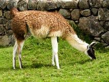 Alpacas i Machu Picchu Fotografering för Bildbyråer