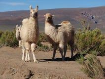 Alpacas i norden av Argentina i landskapet av Salta arkivbilder