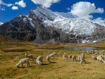 Alpacas i peruanen Anderna arkivbild