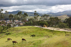 Alpacas at Ingapirca,Ecuador Royalty Free Stock Photography