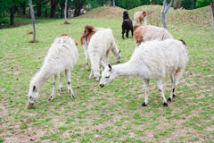 Alpacas. Are kept in herds that graze on the level heights of the Andes of Ecuador,southern Peru,northern Bolivia,and northern Chile at an altitude of 3,500 m Royalty Free Stock Photo