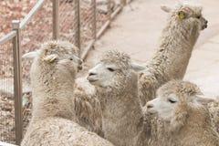 Alpacas Royalty Free Stock Image