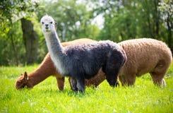 Alpacas mientras que come la hierba Imágenes de archivo libres de regalías