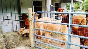 Alpacas no tempo de alimentação imagens de stock royalty free
