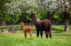 Alpacas with offspring. A South American mammal Royalty Free Stock Photography