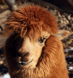 Alpacas Stock Photo