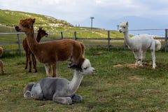 Alpacas op de bovenkant van Berg BaldoMonta Baldo, Meer Garda, Italië stock fotografie