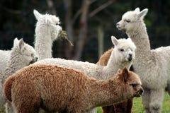 Alpacas op een gebied 2 Stock Foto's