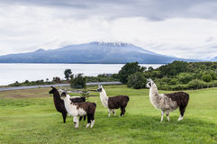 Alpacas and Osorno Volcano, Lake Region, Chile Stock Photo