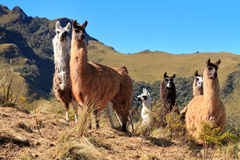 Alpacas at the Pasochoa volcano, Ecuador Royalty Free Stock Images