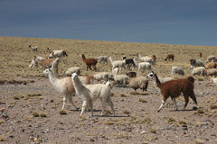 Alpacas pasture Stock Photos