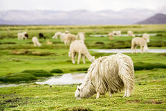Alpacas, Perù Fotografie Stock