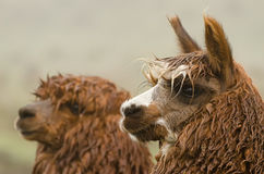 Alpacas. In Peru in the Andes Stock Photo