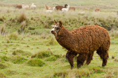 Alpacas Stock Image