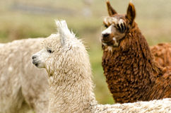 Alpacas. In Peru in the Andes stock images
