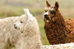 Alpacas Stock Images