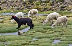 Alpacas. Peru beauty alpacas Stock Photos