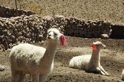 Alpacas peruviani Fotografie Stock