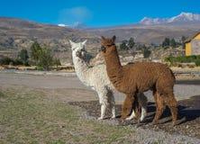 Alpacas peruviani Fotografia Stock Libera da Diritti