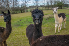 Alpacas at Play. A group of Alpacas at play on a farm. thalpasa are black and white in color Stock Images