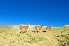 Alpacas que caminan en una colina Fotografía de archivo libre de regalías