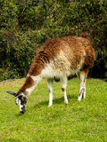 Alpacas que refrigeram em Machu Picchu (Peru) imagem de stock royalty free