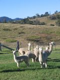 Alpacas in recinto chiuso Fotografia Stock