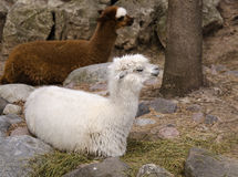 Alpacas Resting Stock Photo
