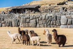 Alpacas Sacsayhuaman ruins peruvian Andes Cuzco Peru. Alpacas at Sacsayhuaman, Incas ruins in the peruvian Andes at Cuzco Peru royalty free stock photos