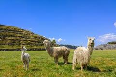 Alpacas selvagens por uma pirâmide do Inca Fotografia de Stock
