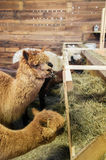 Alpacas in a stable Stock Images
