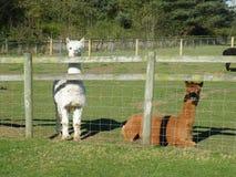 Alpacas su un'azienda agricola. Pacos del Vicugna. Fotografia Stock Libera da Diritti
