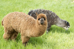 Alpacas Stock Images
