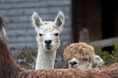 Alpacas. Two huacaya alpacas, scientific name Vicugna pacos, looking over the back of a llama Royalty Free Stock Image