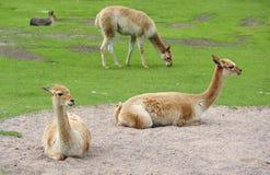 Alpacas in un campo Immagine Stock Libera da Diritti