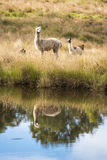 Alpacas in un campo Fotografia Stock Libera da Diritti