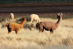 Alpacas (Vicugna pacos). Domesticated species of South American camelid Royalty Free Stock Image