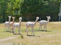 Alpacas Stock Image