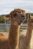 Alpacas on the Vineyard. Smiling royalty free stock photos