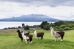 Alpacas y volcán de Osorno, región del lago, Chile foto de archivo