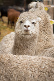 Alpacas Stock Photos