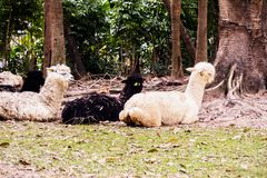 Alpacas in the zoo Stock Photos