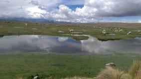 Alpacasnaturreserv i Arequipa, Peru Arkivfoto