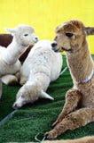 Alpacastående på en lantgård Arkivbilder