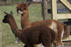 Alpacca Royalty Free Stock Image