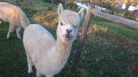Alpaco Fotografie Stock Libere da Diritti