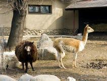 Alpaco e guanaco Fotografia Stock Libera da Diritti